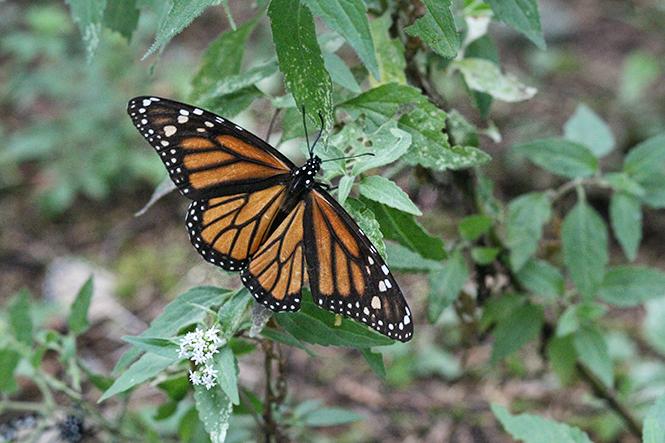 Le bal des papillons mexicains